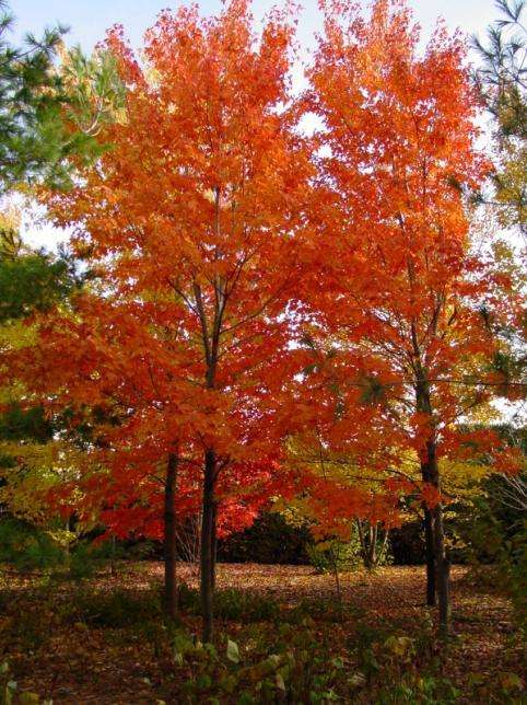 银杏,美国红枫,银杏树价格